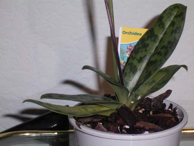 paphiopedilum frauenschuh orchideenforum. Black Bedroom Furniture Sets. Home Design Ideas